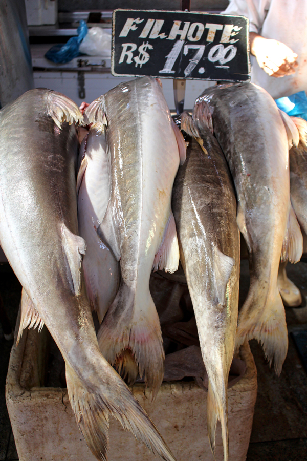 O peixe que mais amo no mundo, o Filhote. Ele tem esse nome por ser filho da Piraíba, peixe de carne fibrosa e sem graça. Mas enquanto pequeno, suas postas são brancas, macias e úmidas