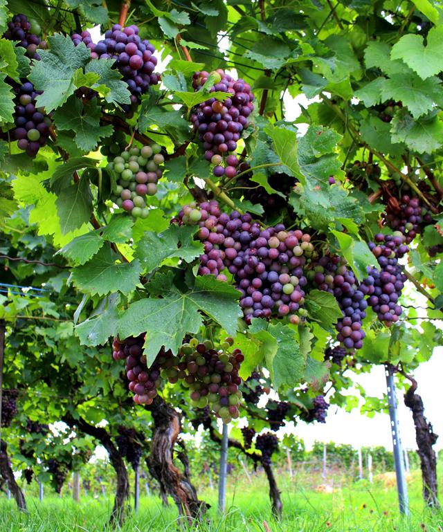 No meio de uma região vinícola, Stuttgart é produtora de bela variedade de vinhos brancos e tintos. Esses vinhedos ficam a menos de 6 km do centro.