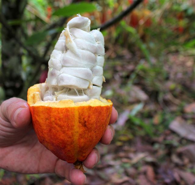 """Você já conhecia o cacau? É da amêndoa desta fruta - escondida detrás da """"carne"""" branca - que nasce o chocolate"""
