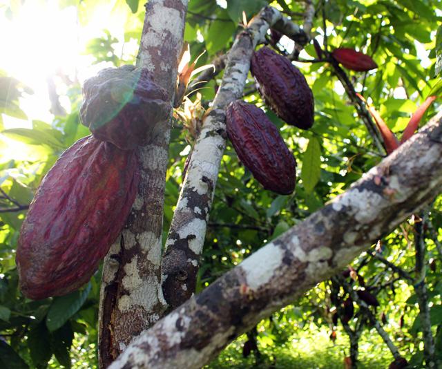 Cacaueiro lotado de frutos