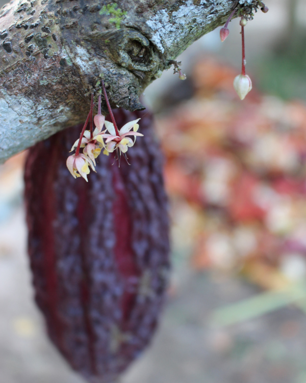 A delicadeza da flor do cacau