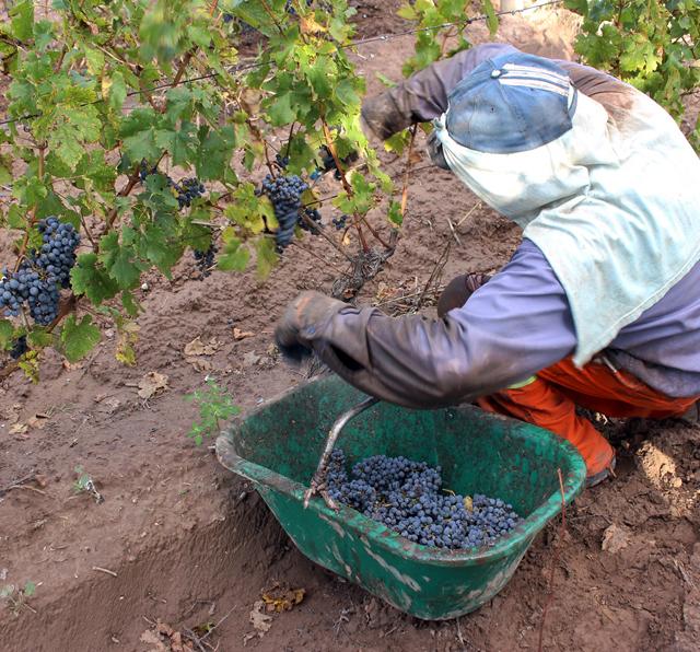 Colheita manual da uva: trabalho pesado mas que resulta em frutas perfeitas para o início da fabricação do vinho