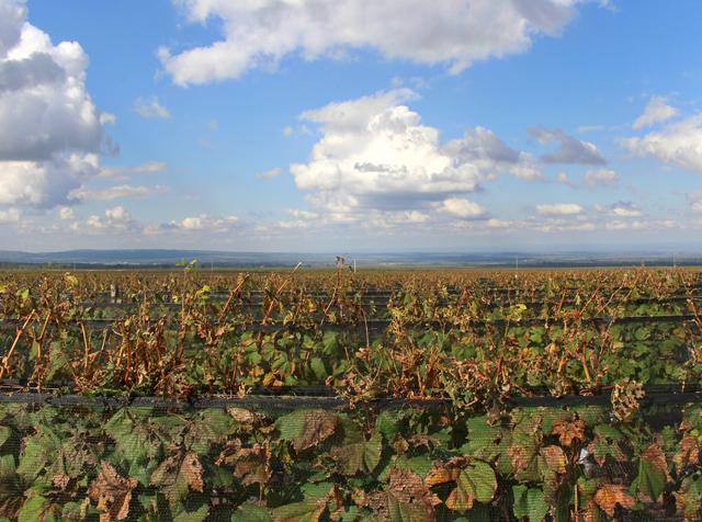 Vinhedos sem fim da Huentala Wines, produtora do vinho Amansado