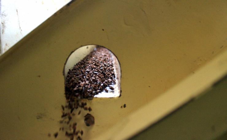 NIbs - pedaços da amêndoa - de cacau sendo separados da casca