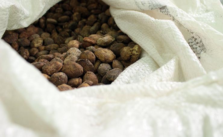 """Amêndoas de cupuaçu, planta da mesma família do cacau usada pela AMMA para a produção do """"chocolate"""" de cupuaçu, o Theobroma Grandiflorum"""