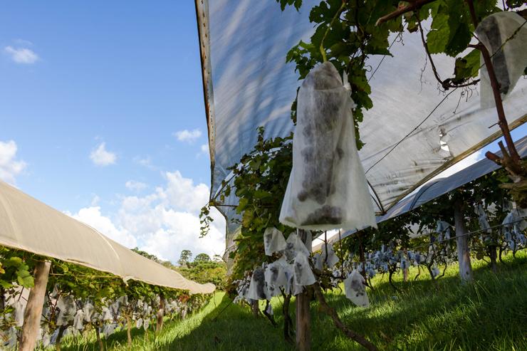 Syrahs protegidas, cacho a cacho, antes de se tornarem um dos vinhos naturais do Entre Vilas