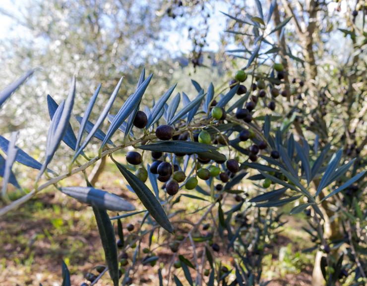 Azeitonas do Entre Vilas: elas se transformam em um delicioso azeite servido na casa