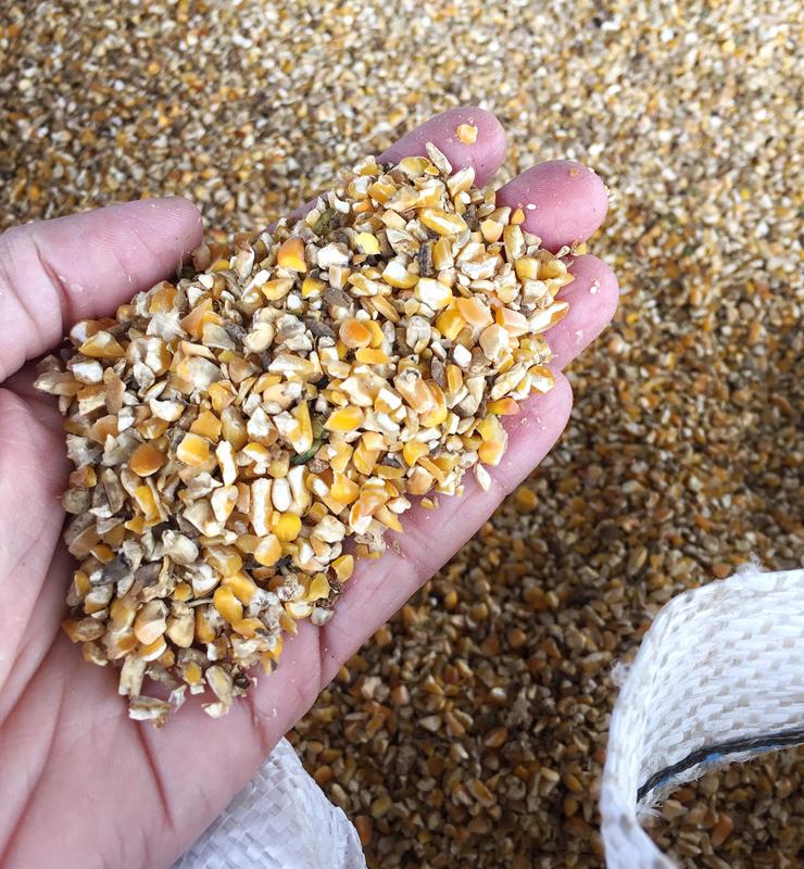 Na alimentação das aves da Korin não é permitido o uso de milhos quebrados - por serem entradas fáceis de doenças pela presença de fungos e bactérias.