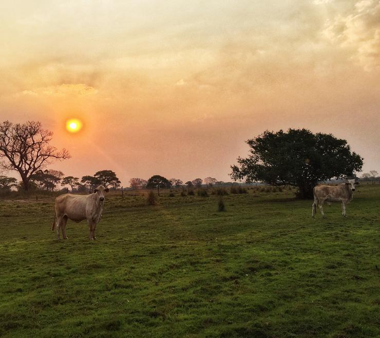 Gados de vida livre - e sem antibióticos nem ureia - da Fazenda Figueiral, no Pantanal