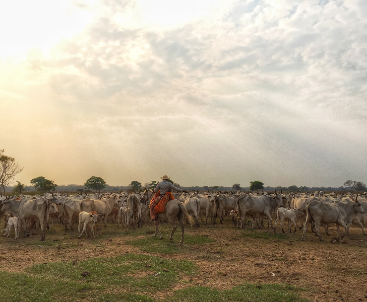 """Peão tocando uma invernada (""""lote"""" de gado) pelas planícies do Pantanal"""