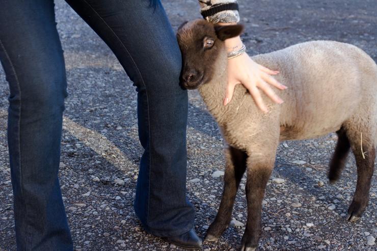 Rey, o carneiro rejeitado pela mãe e criado pelo caseiro do hotel: o xodó dos hóspedes