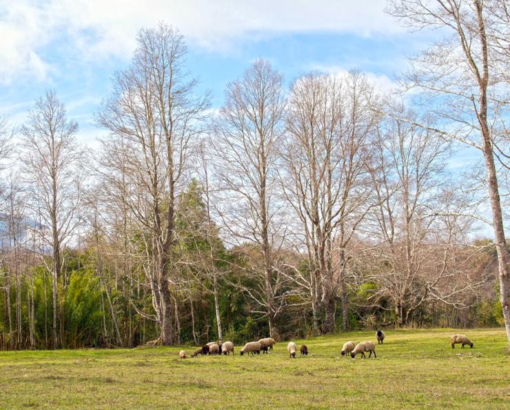 As ovelhas em um dos campos do Vira Vira