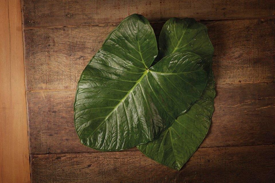 Um dos ingredientes protegidos pela Arca do Gosto: taioba ou taiá branco. A taiá (Xanthosoma sagittifolium), da família Araceae, possui em torno de 100 gêneros e 1.500 espécies, distribuídas em diversas regiões do planeta, principalmente nos trópicos, em ambientes úmidos e sombreados. Os produtores identificaram cinco espécies de taiá, sendo duas as mais conhecidas e usadas: taiá roxo e taiá branco conhecido, também, como Taioba. O taiá branco é considerado o melhor, pois possui maior teor de umidade.