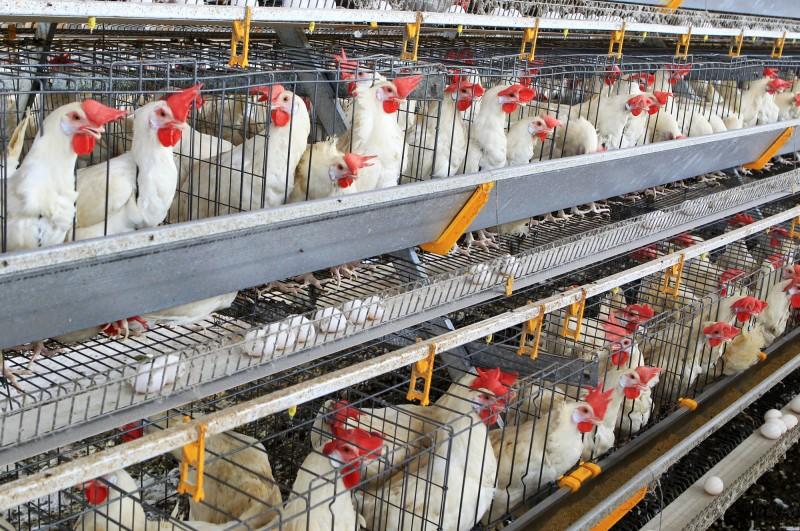 Exemplo de uma bateria de criação de galinhas poedeiras