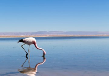 Deslumbrante é uma palavra que venho usando muito nas últimas 24 horas.  E o Salar do Atacama é isso aí, deslumbrante.  Centenas de flamingos se alimentam de micro crustáceos ancestrais que nascem e se reproduzem apenas neste bioma extremo - o salar do Atacama tem cerca de 3mil quilômetros quadrados e 1450 de profundidade.  A água acumulada nesse ponto do deserto é decorrente da água da chuva que cai nos Andes e vai para o subsolo.  A cor rosada do flamingo vem da concentração de betacaroteno desse microcrustaceo.